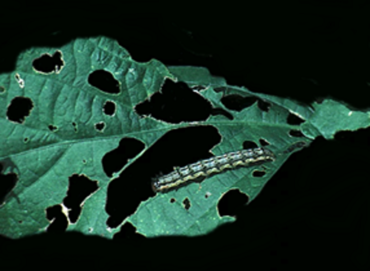 earworm causing holes on a foliage