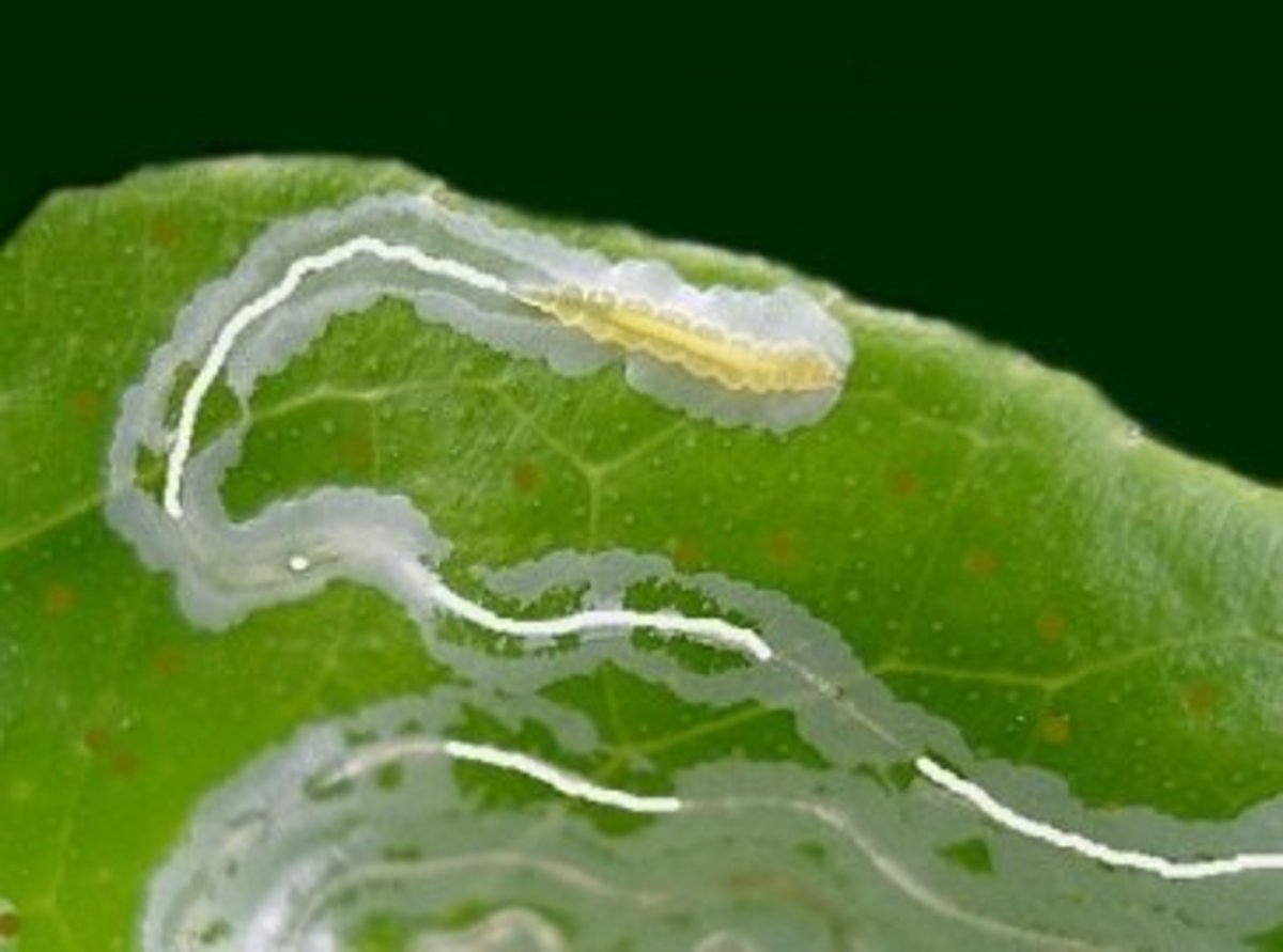 leaf miner causing a tunnel and trail