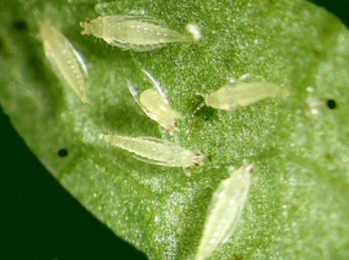 thrips feeding on a leaf