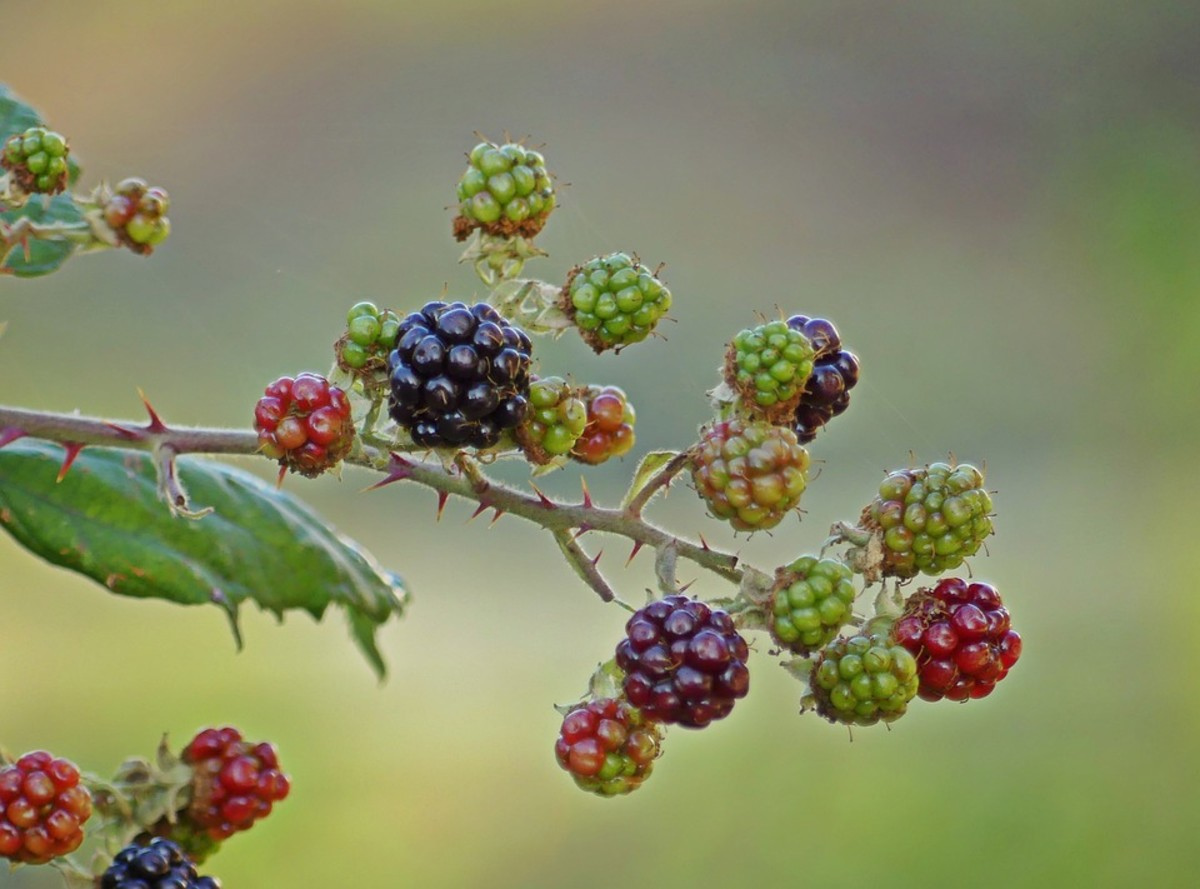 Blackberry Brambles