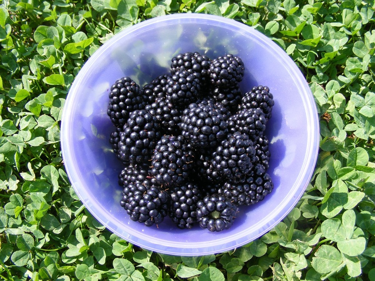 A Bowl of Juicy Blackberries
