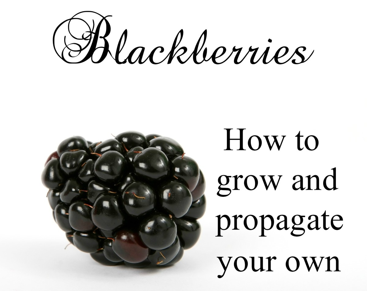Blackberry Plants How To Grow And Propagate Dengarden