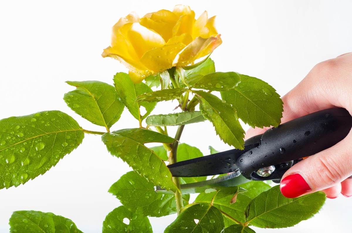 Pruning is necessary to provide light and air to the inner limbs of the plant, as well as take away the weight of dead branches.  It is important to prune by hand first, as electric trimmers just cut the surface of the bush.