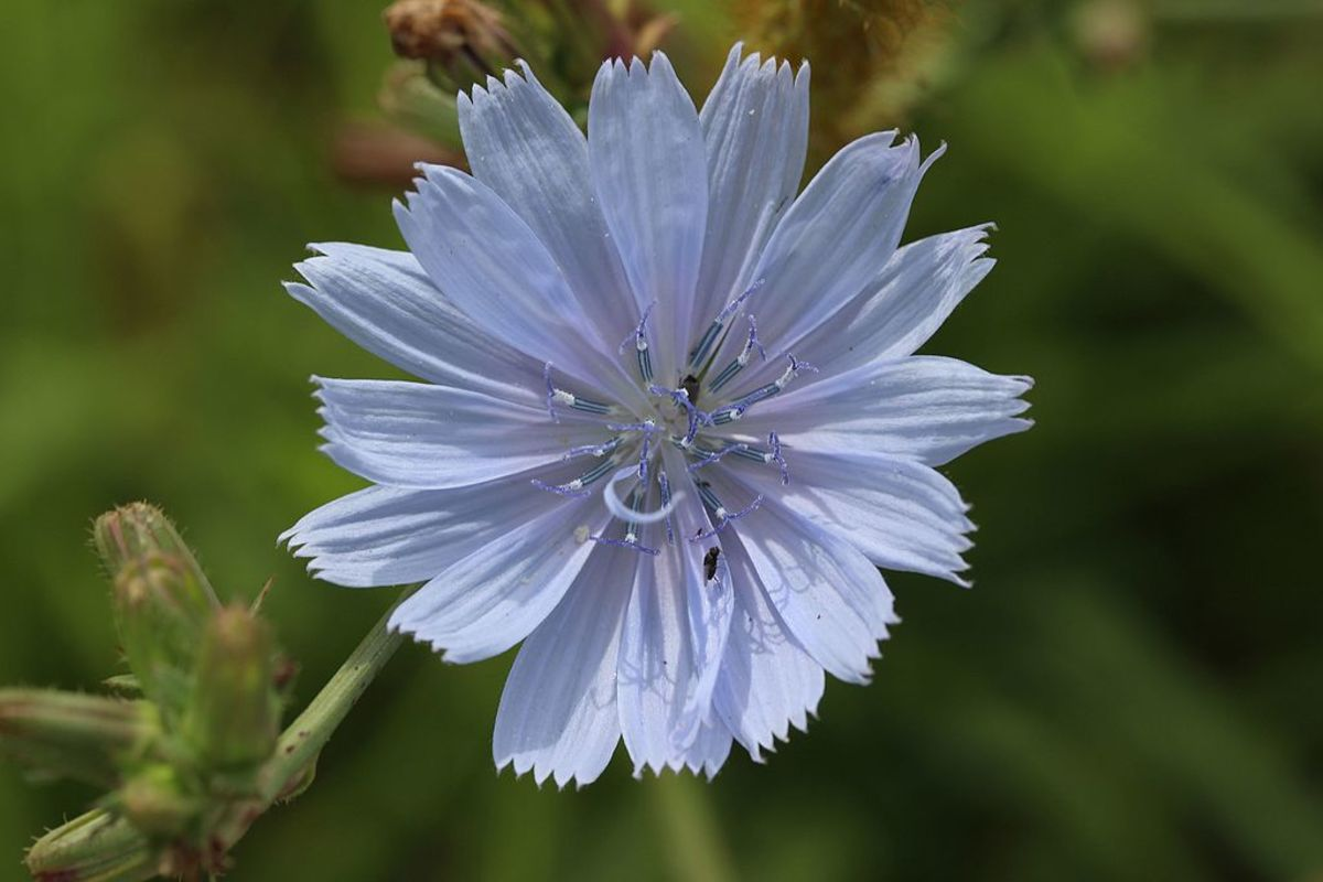How to Grow and Harvest Chicory