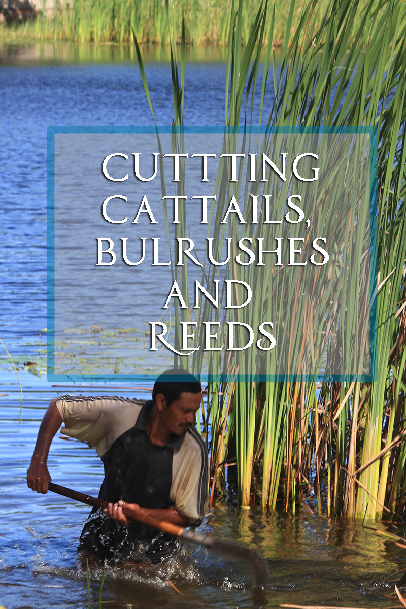 Cutting cattails, bulrushes and reeds