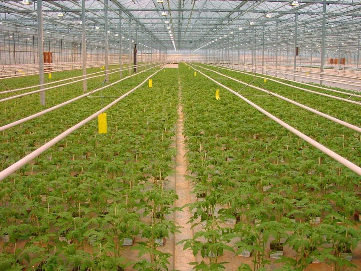 Sticky traps being used in a greenhouse to attract and trap flying pests