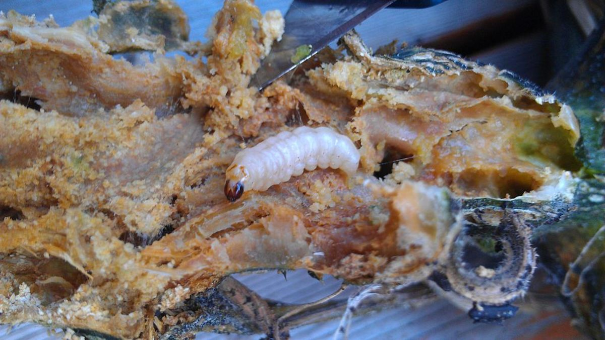 how-to-rid-your-garden-of-squash-vine-borers