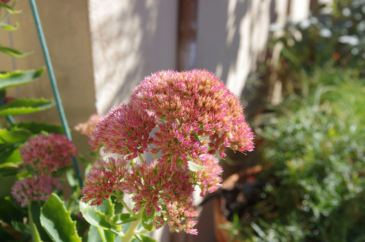 "Sedum ""Autumn Joy"""