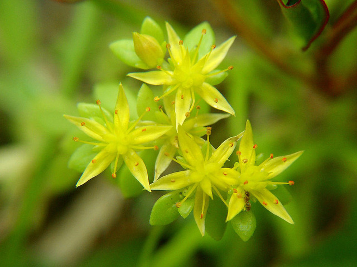 Sedum Bulbiferum. Sedum varieties have star shaped flowers.
