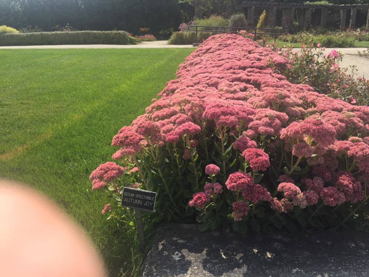 "Sedum ""Autumn Joy"" planted in masses at the Milwaukee Boerner Botanical Gardens."