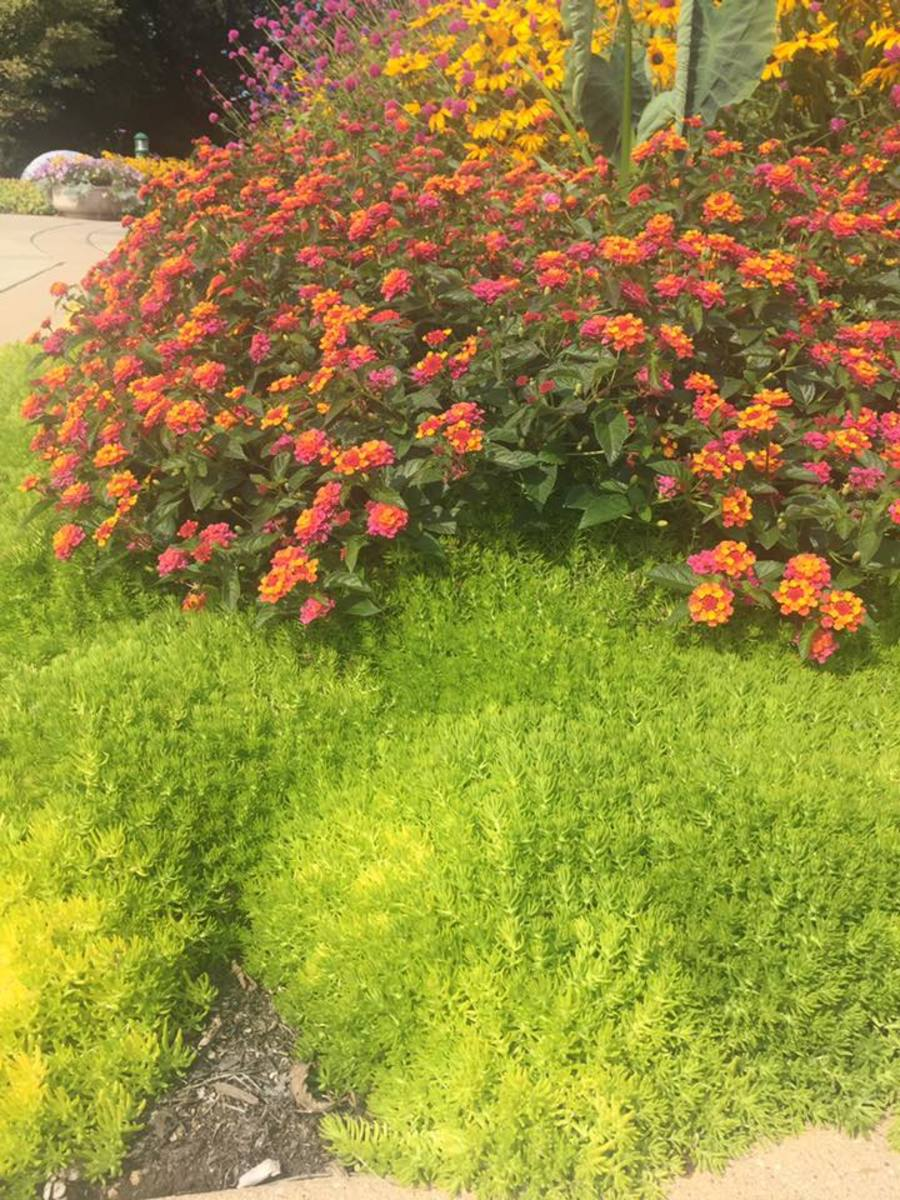 Early September: mums paired with creeping sedum at the Boerner Botanical Gardens.