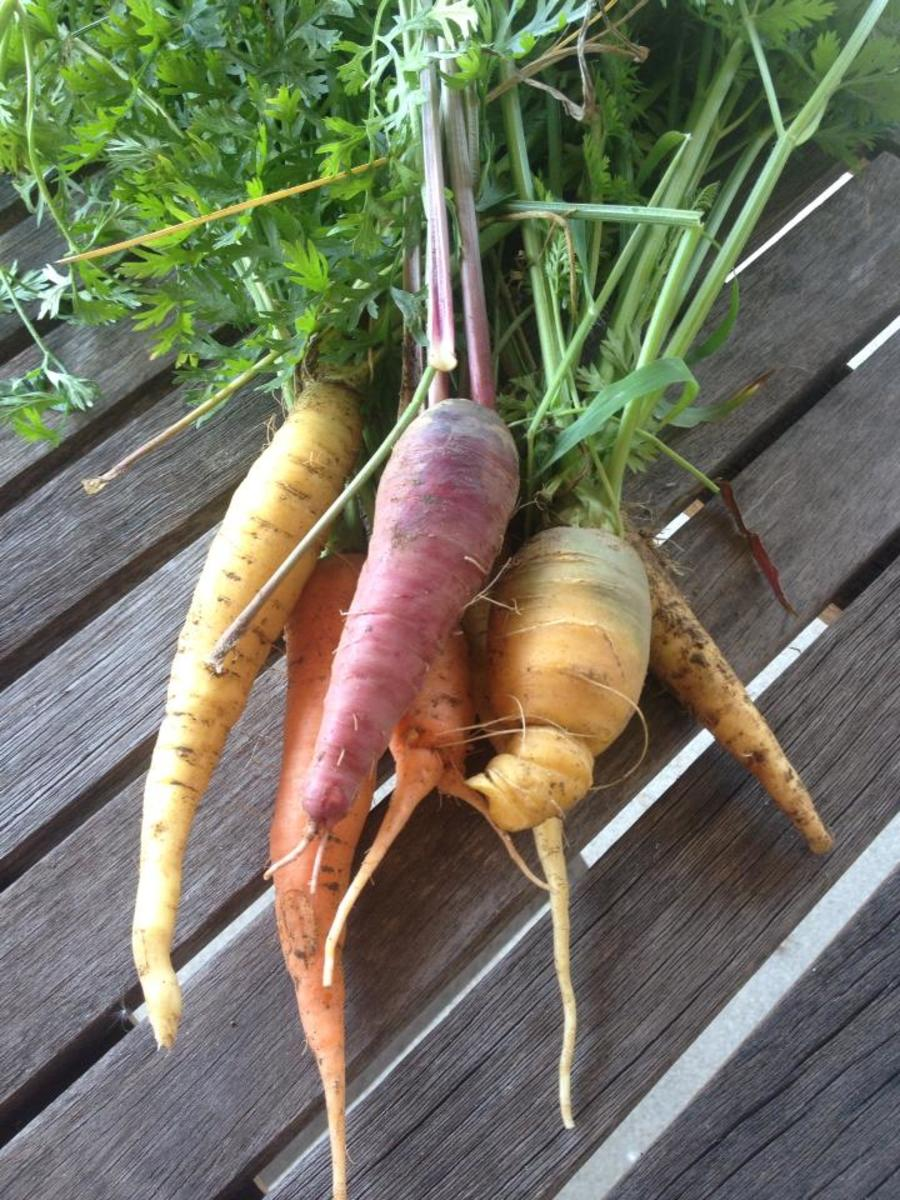 A rainbow of carrots out of my garden.