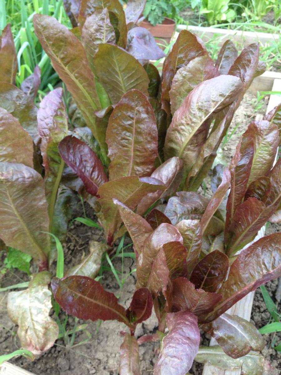 Red romaine lettuce in my garden.