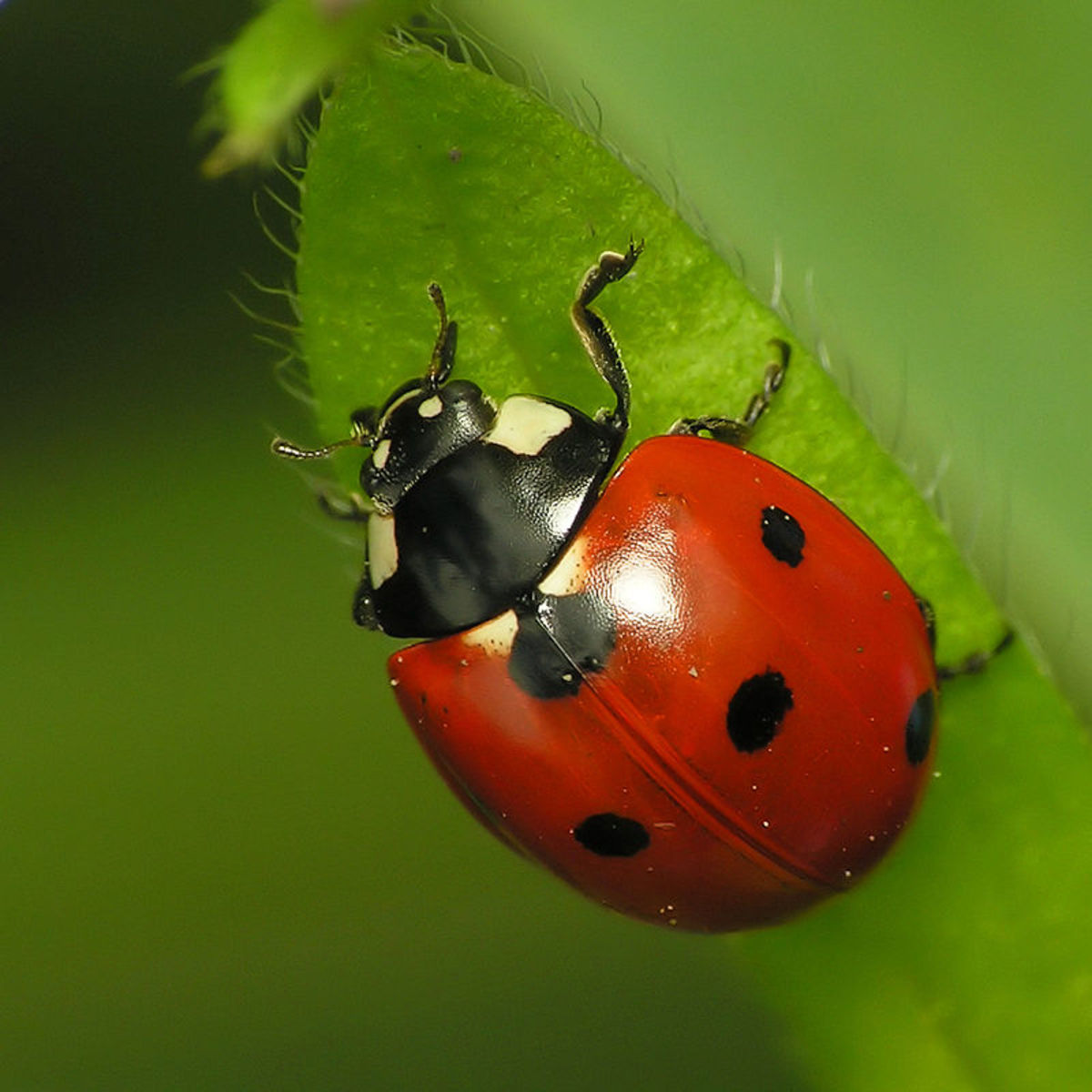 How to Attract Ladybugs to Your Garden