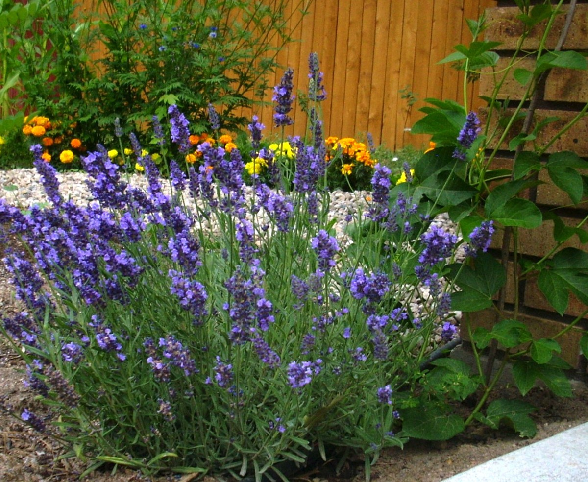 "Lavender does not appreciate transplanting and is difficult to start from seed.  An economical way to get this plant is in a 3"" pot."