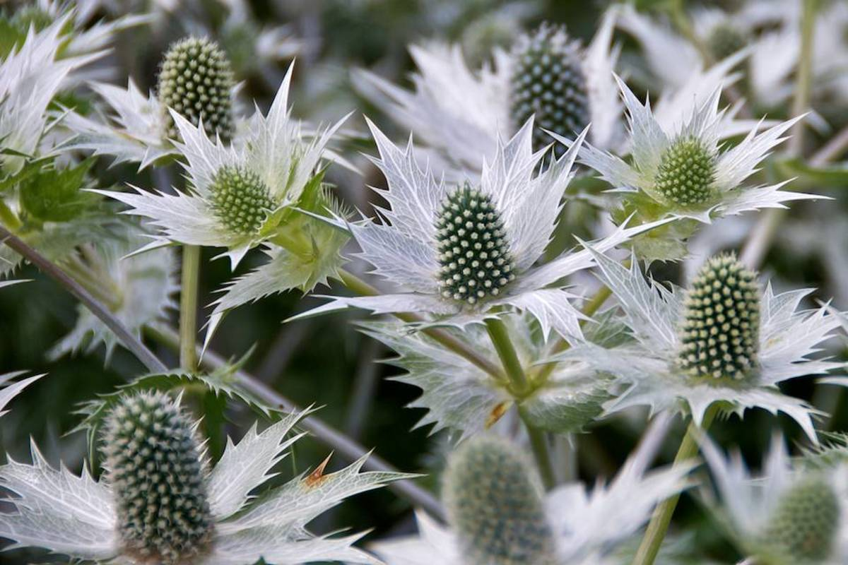 Eryngium giganteum (Giant Sea Holly)