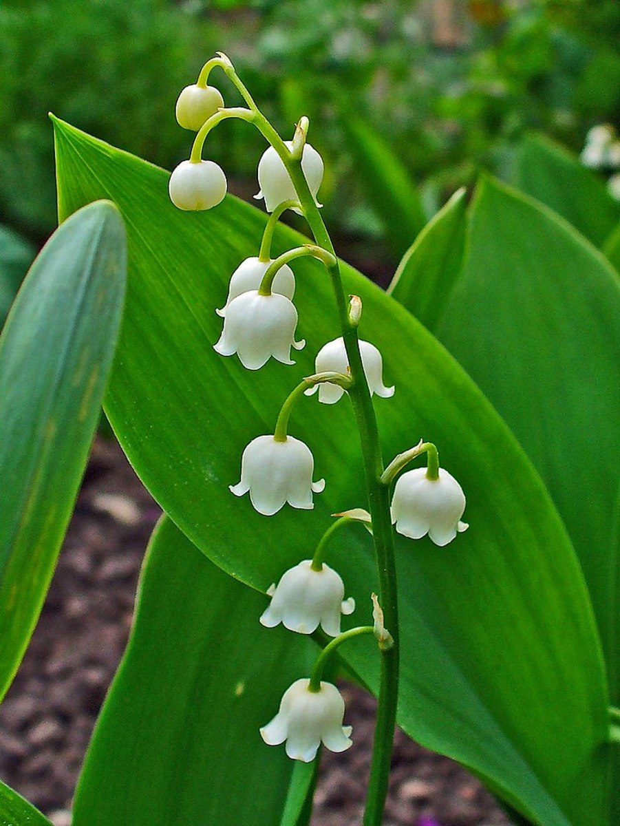 How to Grow Lily of the Valley, a Cottage Garden Favorite