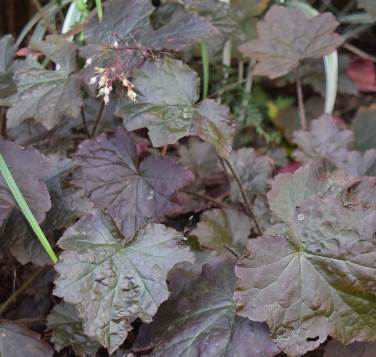 Add mulch around  Coral Bells to prevent its shallow roots from being pushed out of the ground.