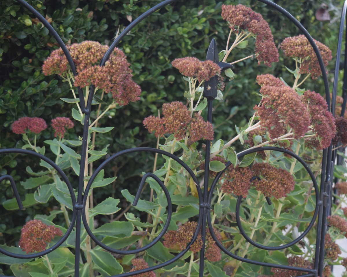 Sedum begins to dry into an outdoor design for winter.