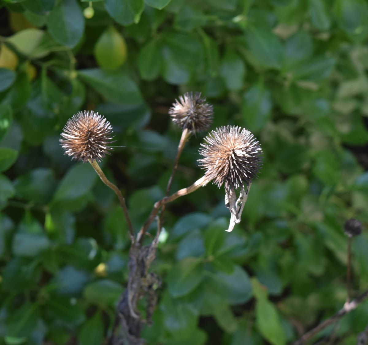 Purple Coneflower seed heads ready for birds to eat in winter.