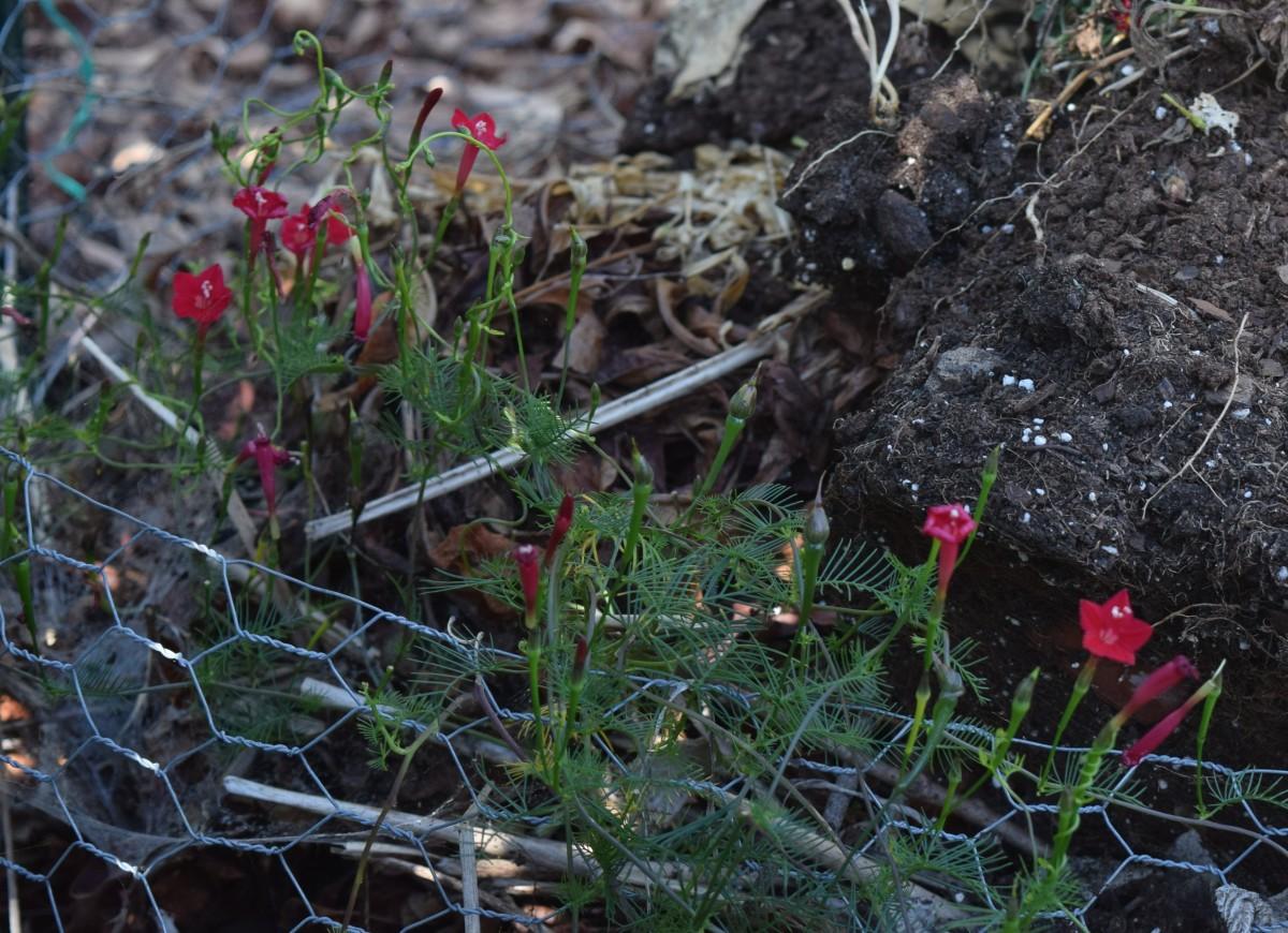 Cardinal vine making last appearance in compost bin.