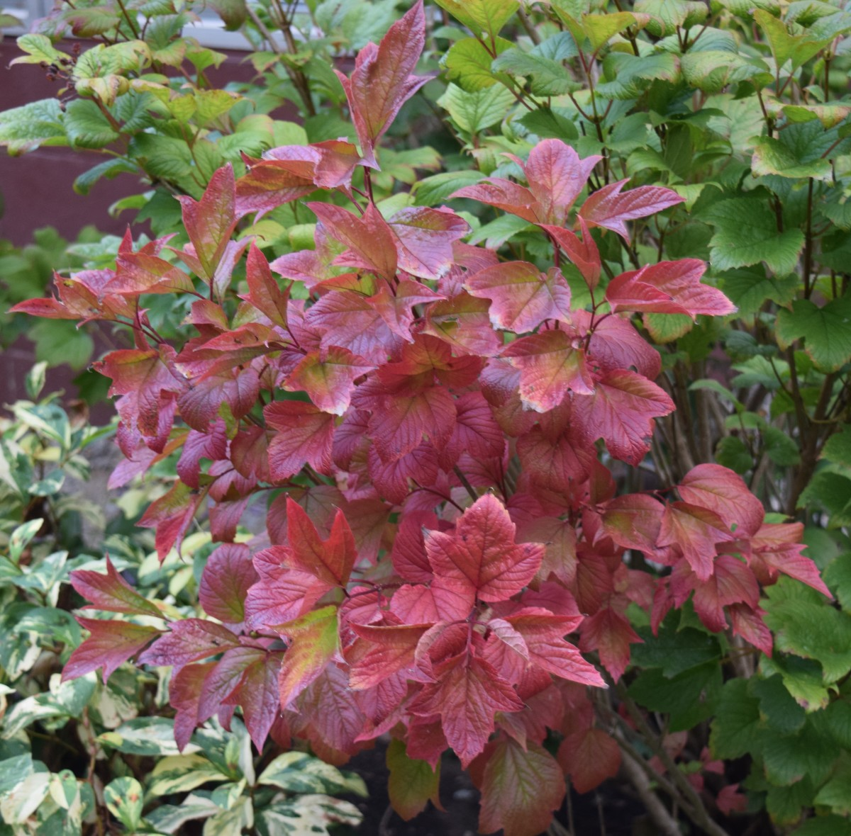 Viburnum Trilobum leaves changing color (center), Knotweed (lower left).
