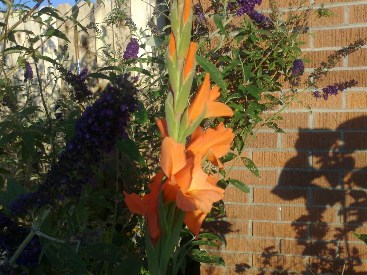 Gladiolas provide striking color pops.