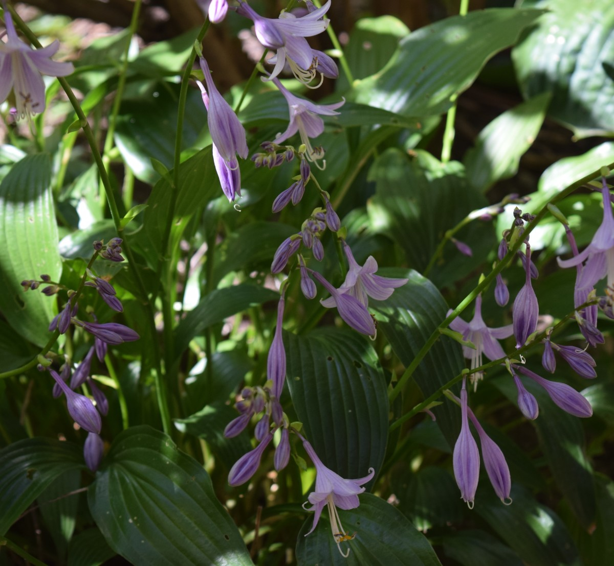 Late blooming Hosta benefits from last fall's compost.