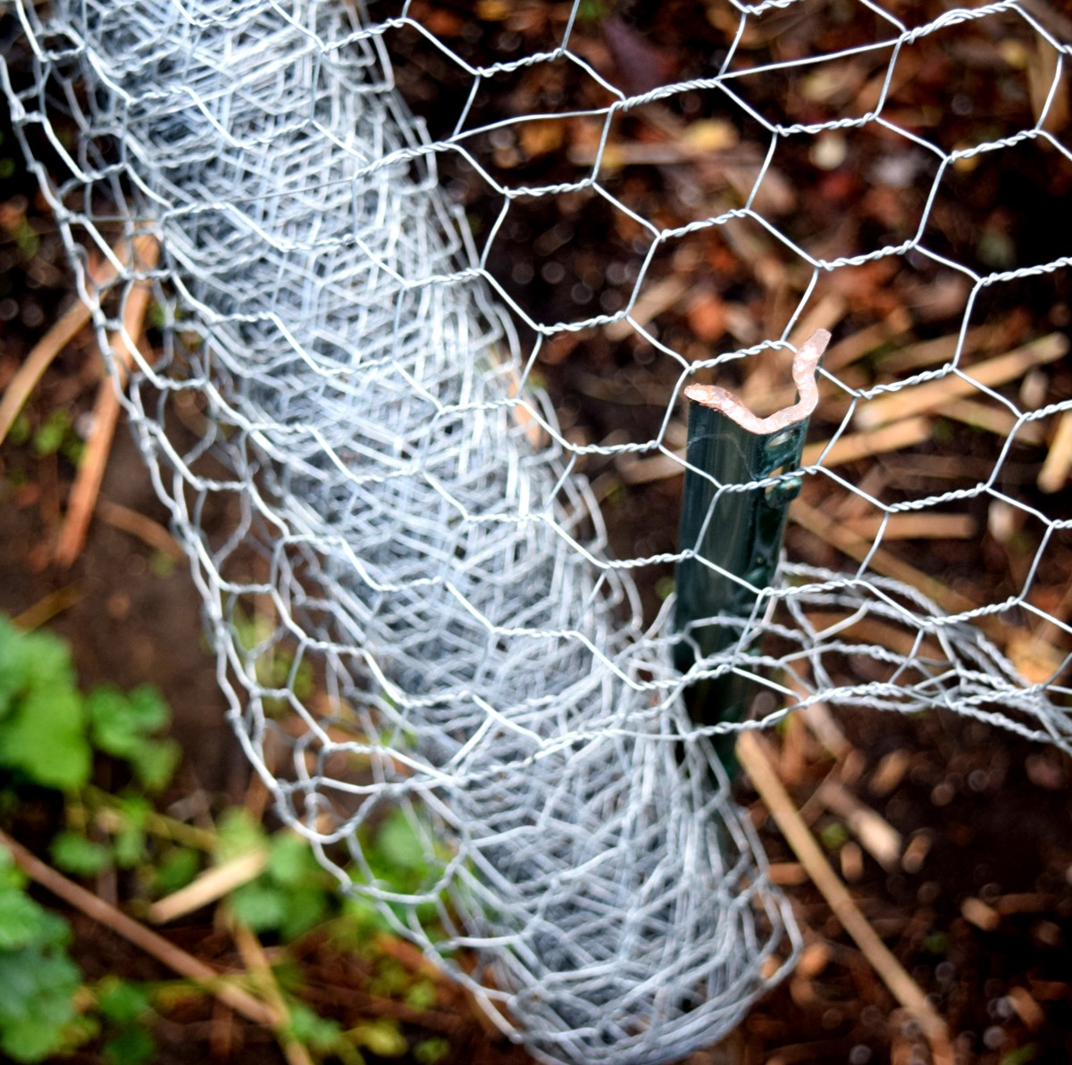 At bottom of chicken wire roll, thread one hole of wire over stake.