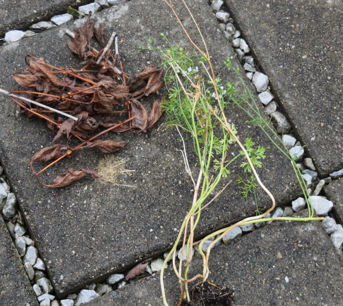 Ingredients for compost pile: Brown and dry example: leaves.  Green and wet example: cilantro, end of season.
