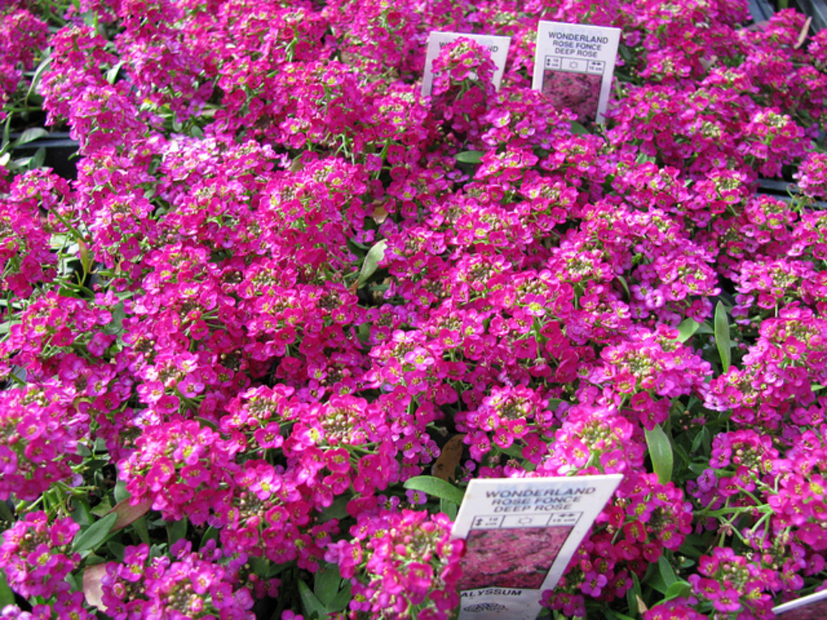 Sweet Alyssum 'Deep Rose'.