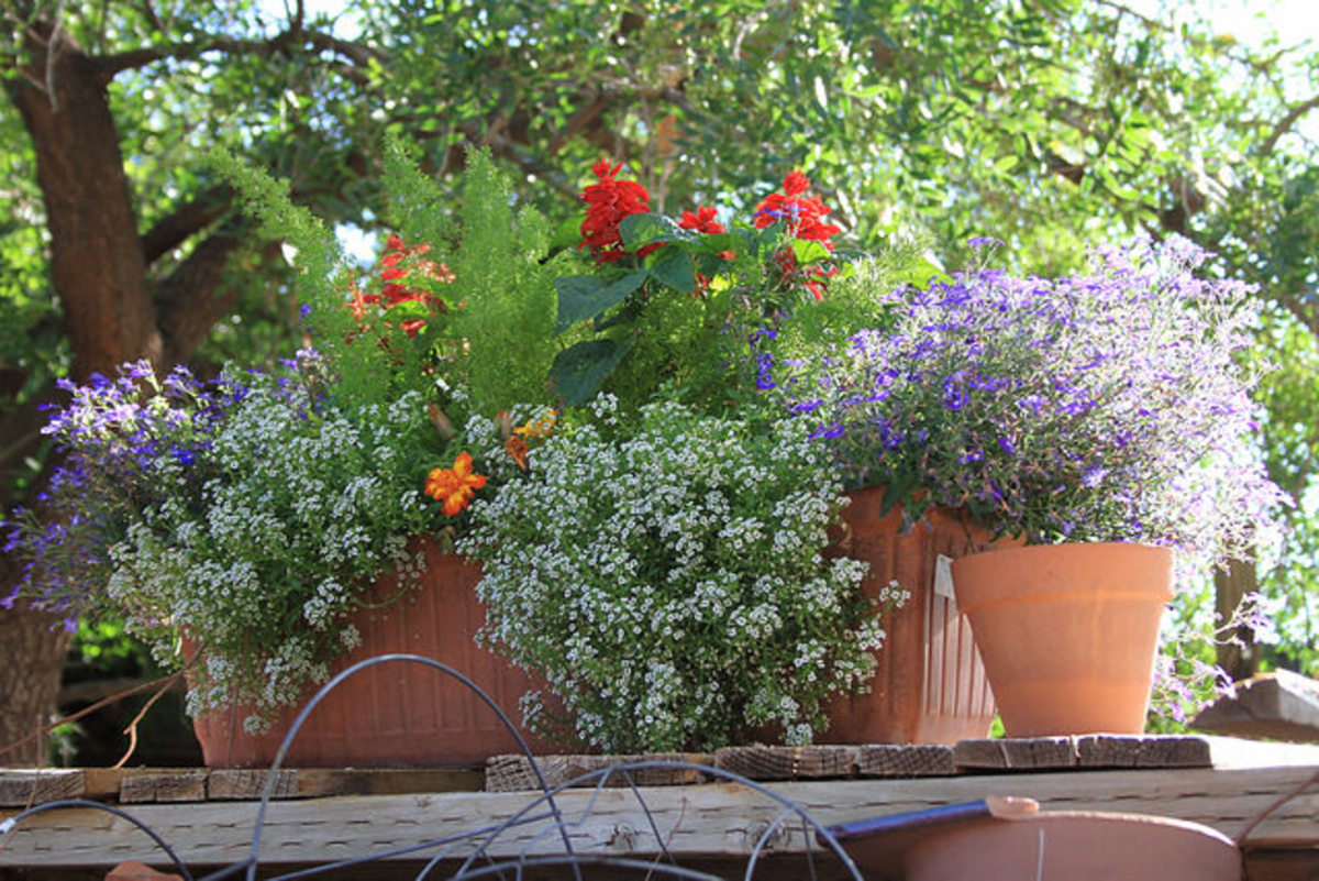 This low-growing plant looks great spilling out of containers. Alyssum grown in pots just requires a little extra care with diligent watering and fertilizing.