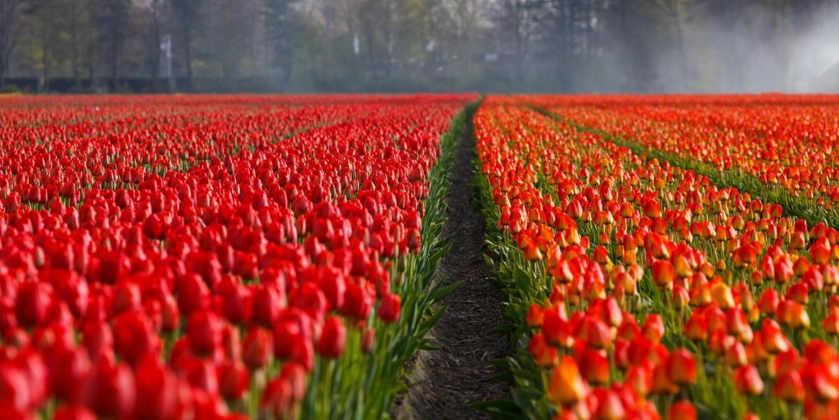 Red tulip fields.
