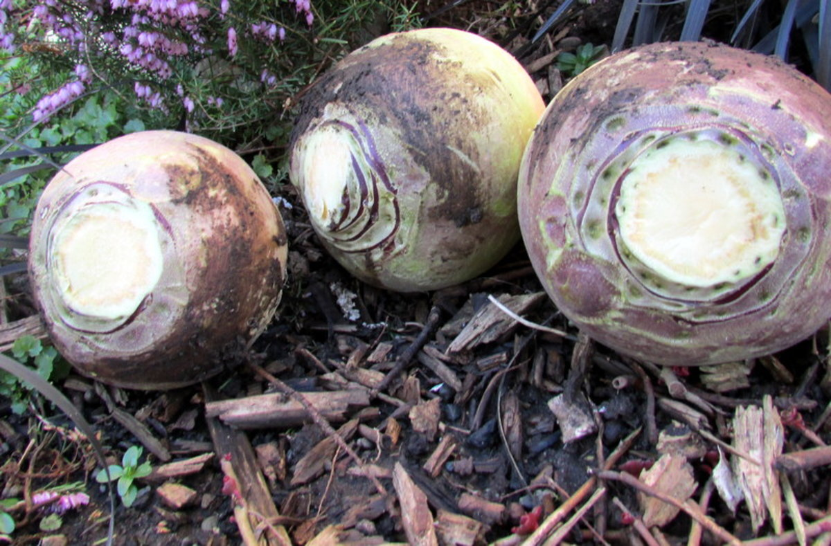 How to Plant and Grow Swedes Turnips in the Garden