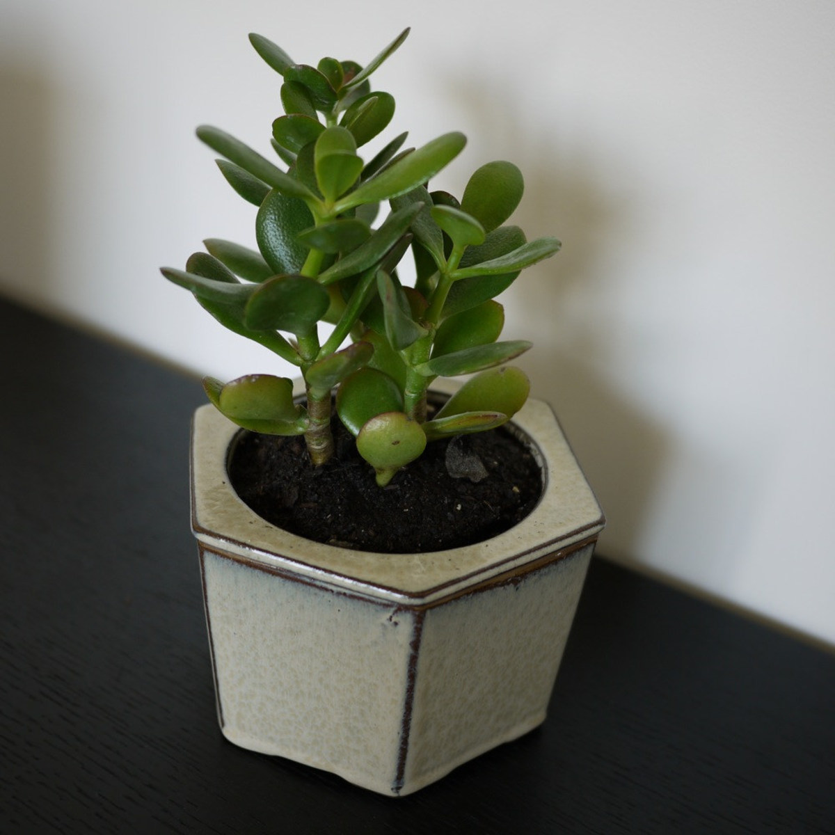 The Jade Plant is a fantastic indoor succulent plant that stays green year round.