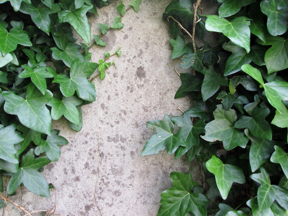 how-to-grow-english-ivy