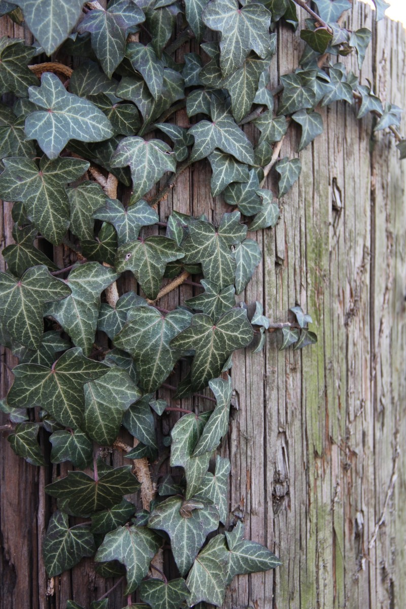 How to Grow English Ivy