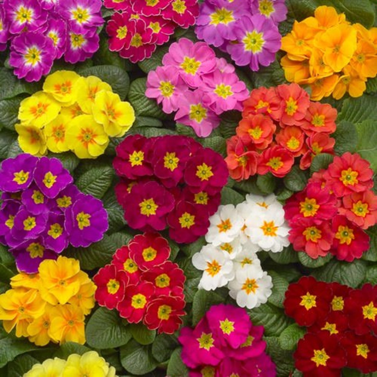 You can grow primroses in just about any color you want.