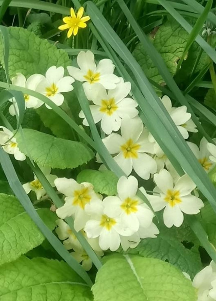 This photo of some stunning primrose flowers was taken by an aspiring photographer, 10-year-old April Rogers, who is the daughter of a Facebook friend of mine, Maxine Rogers. We always appreciate the photographers who are willing to share their work.