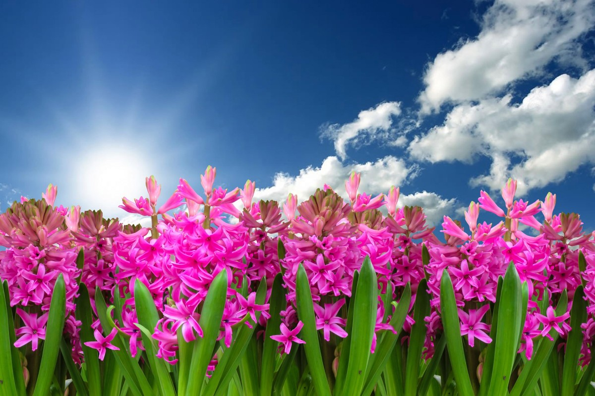 How to Care for Hyacinths