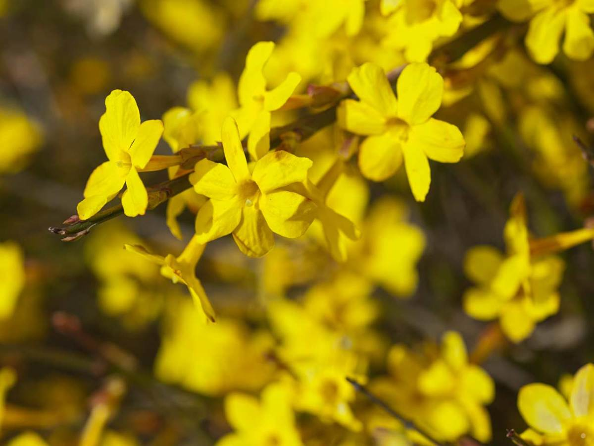 The winter jasmine is a Chinese plant, introduced in 1844 by Robert Fortune.  It is a truly hardy jasmine, and not as heavily scented as the common white jasmine.