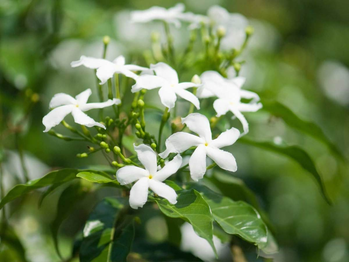 The common white jasmine was brought back to England from India by explorer Vasca da Gama in the 16th century. It soon became a hit with English gardeners who were wild about the fragrance and the beautiful flowers that bloom from summer into fall.
