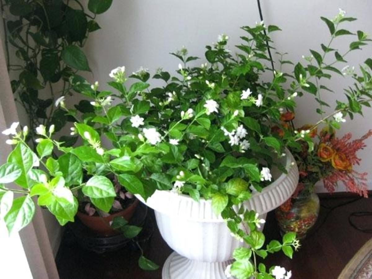 This is an Arabian jasmine plant in a container. Despite its English common name, Jasminum sambac is not originally native to Arabia. This plant loves optimum amounts of humidity.