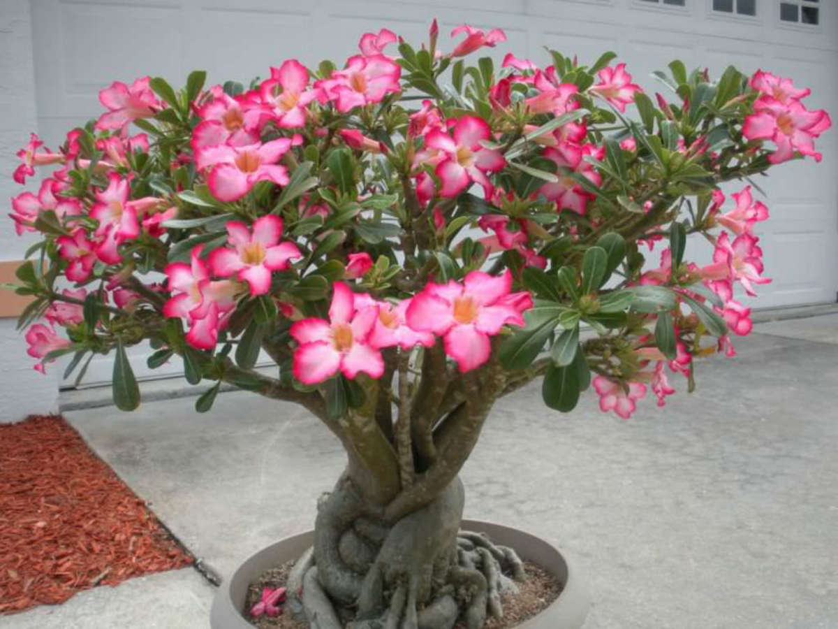 Adenium (Desert Rose) Plants: Beautiful Flowers on Some Strange-Looking Trunks