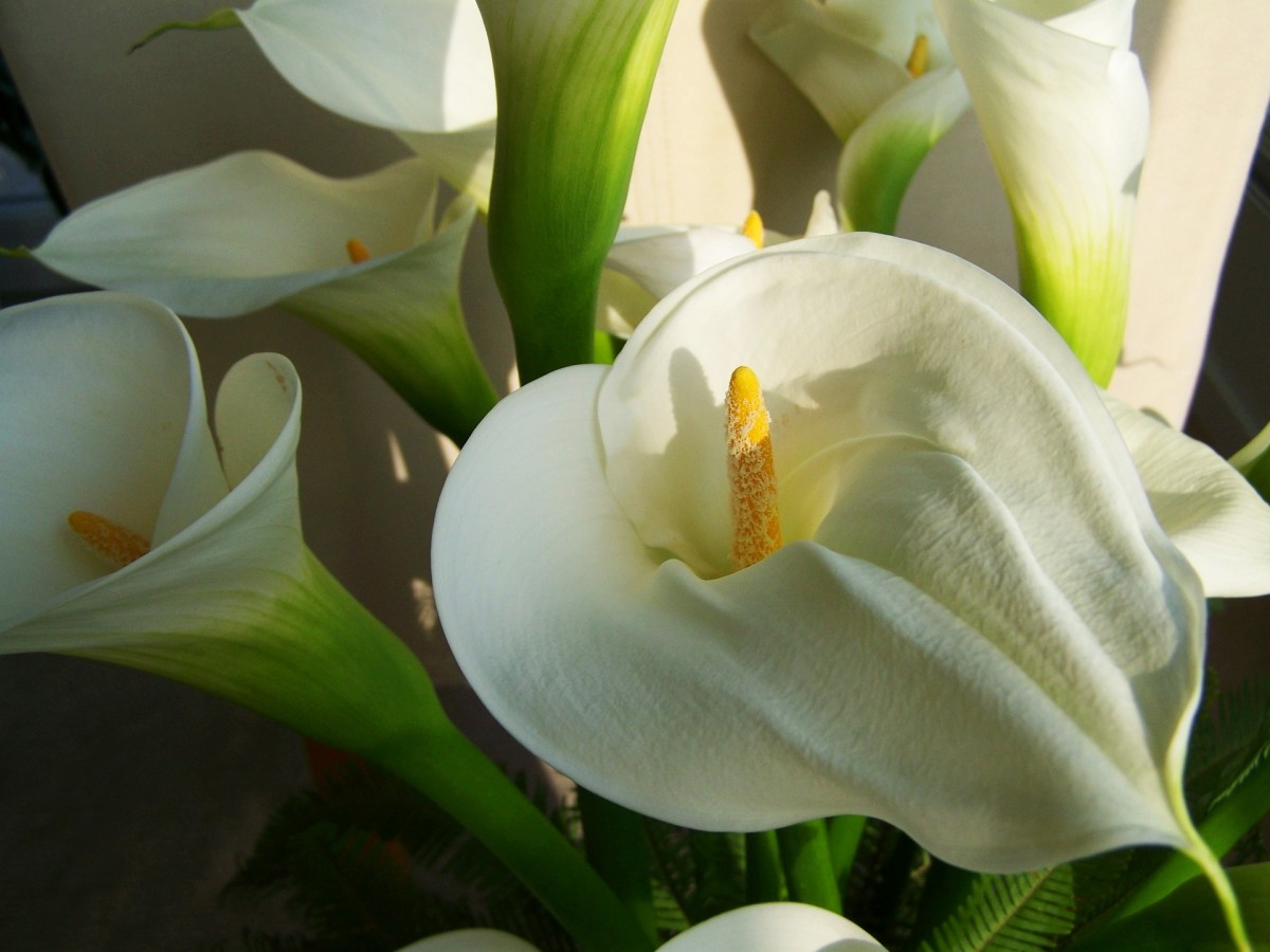 How to Plant and Care for Calla Lilies