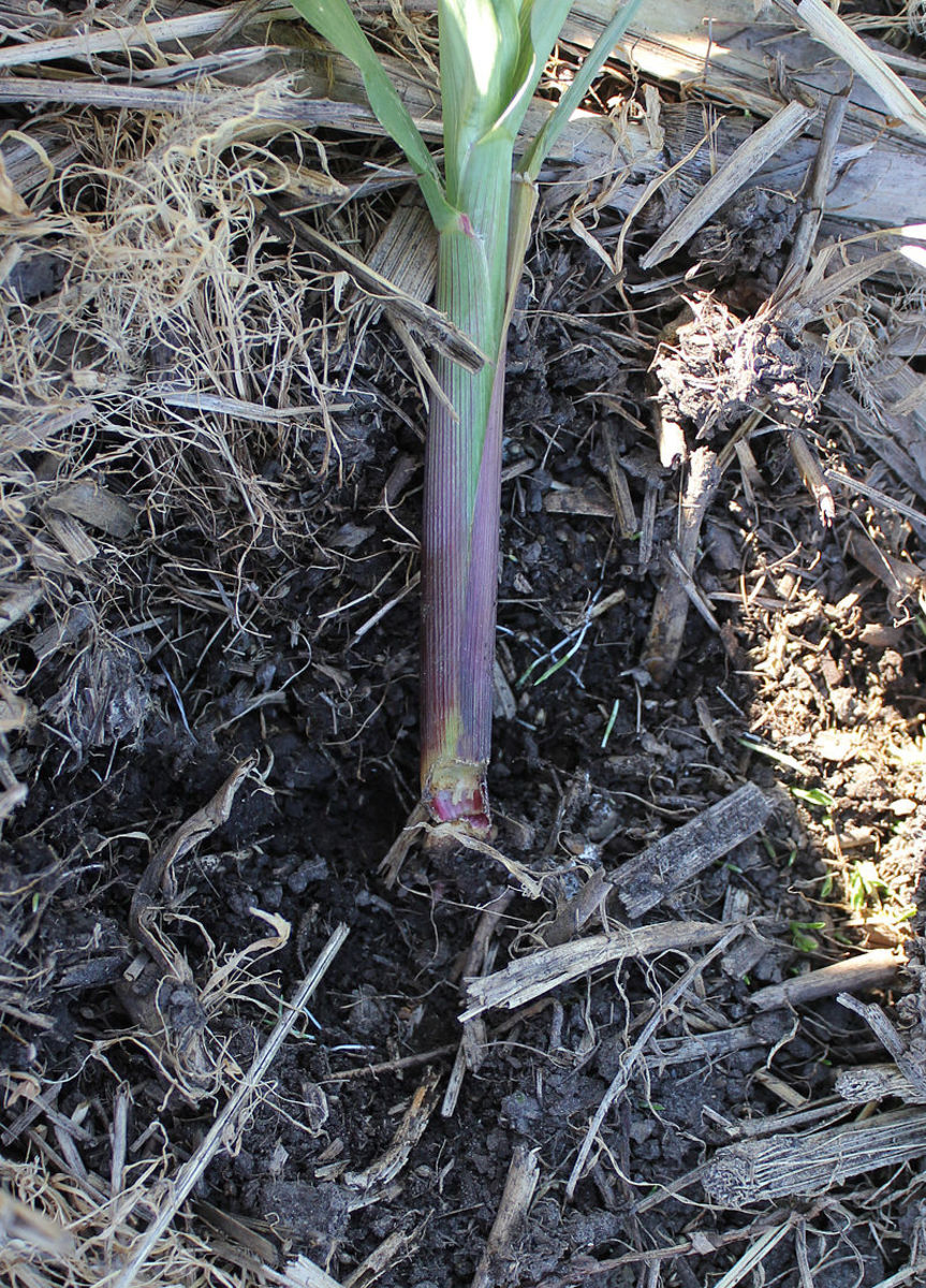 A Young Leek Sliced by a Cutworm.  A Collar Placed Around it When Planted Would Have Prevented This.