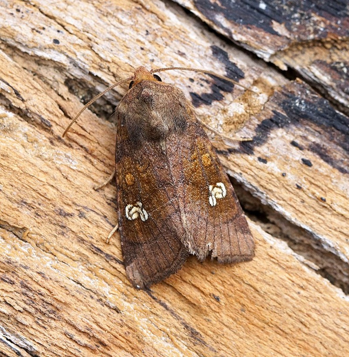 A Dark Winged Moth Whose Larvae is a Cutworm