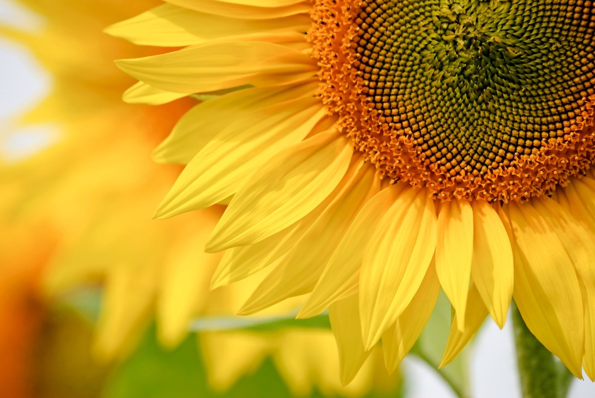 How to Care for Sunflowers & Harvest Seeds