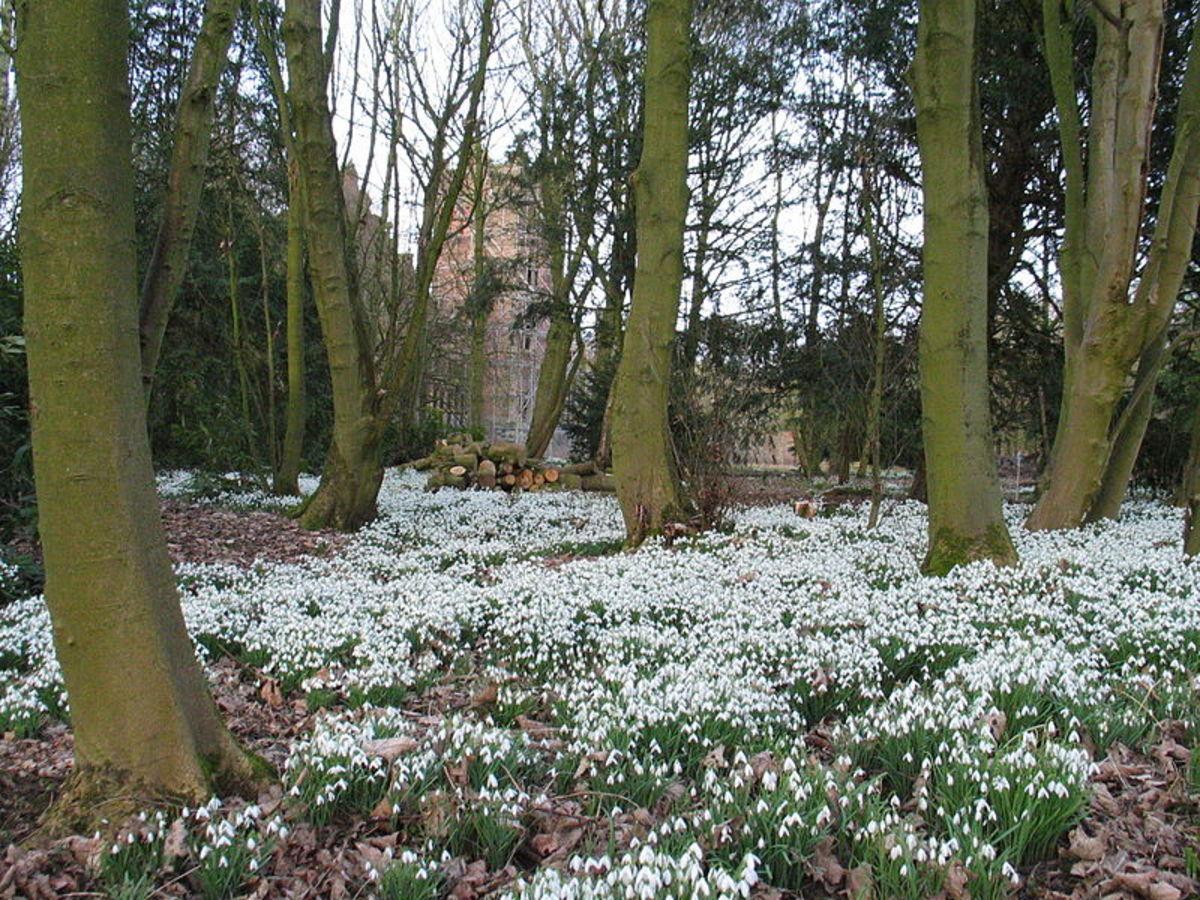 A snowdrop garden in February