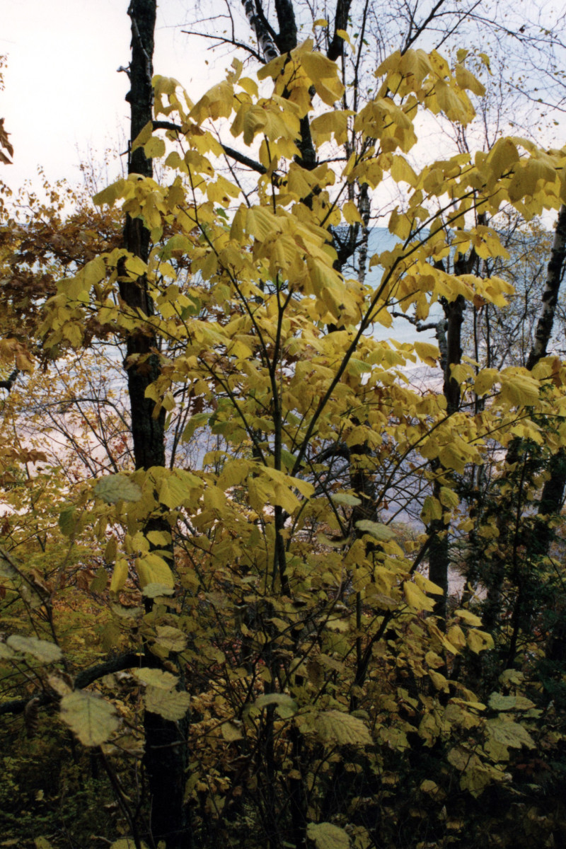 Everything You Need to Know About Striped Maple Trees